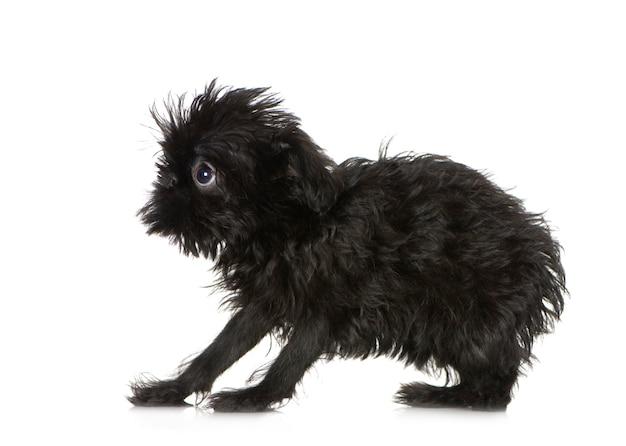 3か月のグリフォンbruxellois子犬。分離された犬の肖像画