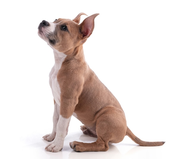 分離された生後3ヶ月のアメリカンスタッフォードシャーテリアの子犬