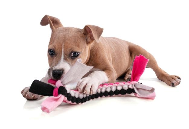 孤立した白の織物のおもちゃで遊ぶ生後3ヶ月のアメリカンスタッフォードシャーテリアの子犬