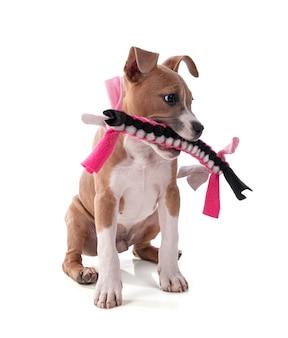 織り生地のおもちゃで遊ぶ生後3ヶ月のアメリカンスタッフォードシャーテリアの子犬