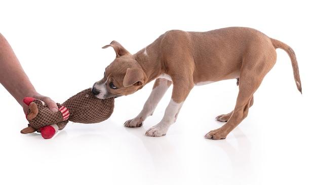고립 된 장난감을 가지고 노는 3 개월 된 아메리칸 스 태 포 드셔 테리어 강아지