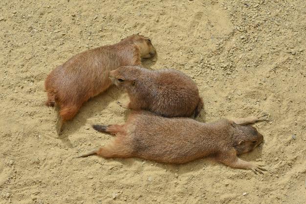 一緒に近い3匹の愛情のあるプレーリードッグのかわいいシーンが日光浴をする砂の上に横たわっています