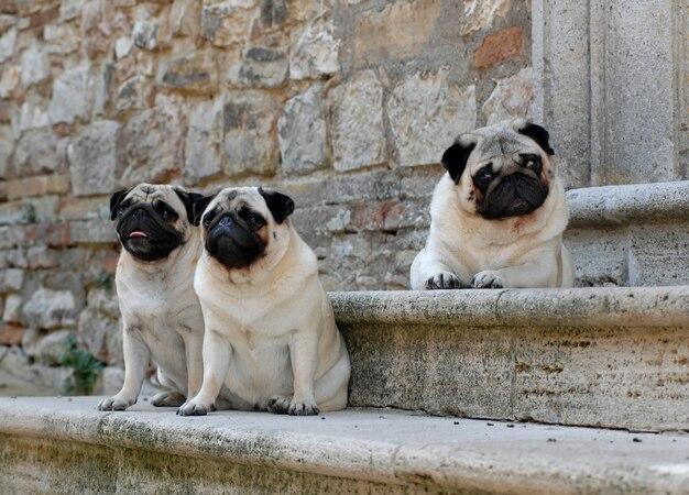 3匹のパグ犬の肖像画