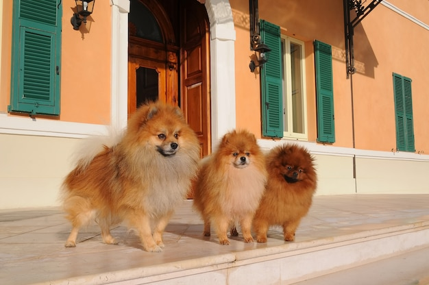 3匹のポメラニアン犬の肖像画