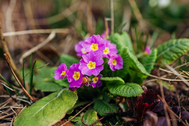 春の庭で成長している紫色のサクラソウの束。 3月の花。森に咲くプリムラ。自然の花の背景