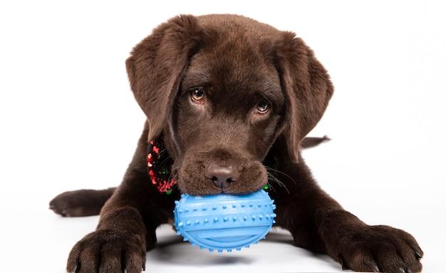 白い背景の青いおもちゃをかむ3ヶ月のチョコレートのラブラドール子犬。孤立した画像