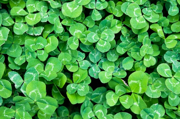 3つの葉のシャムロックと緑の背景のクローバーの葉