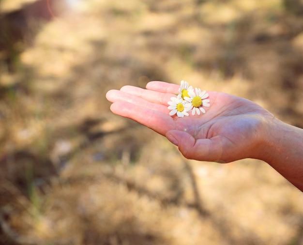 太陽の下で人間の手のひらに3つの白いヒナギク