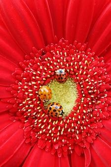 明るい赤のガーベラのクローズアップの3つのてんとう虫