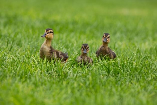 緑の草に3つの赤ちゃんアヒルの子