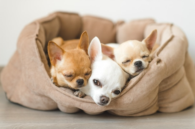 床に小さな犬小屋で横になっている3つの愛らしいチワワの子犬。