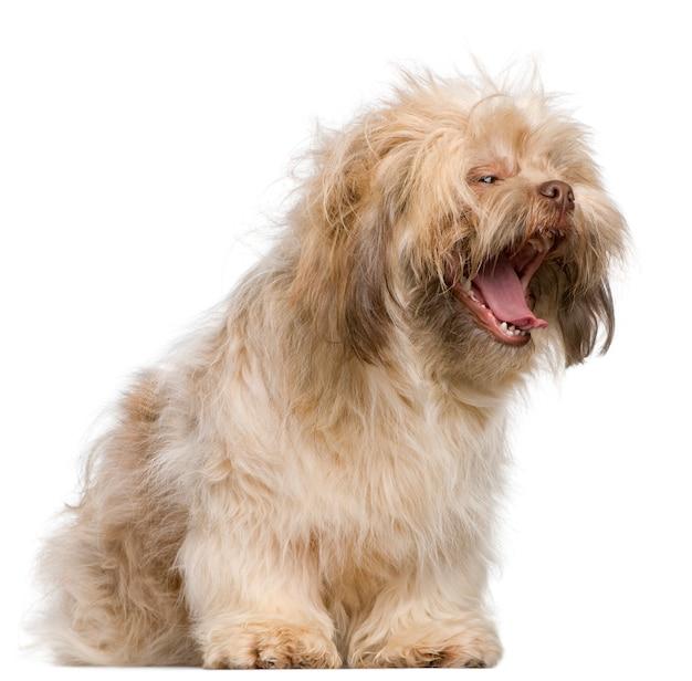 Ши-тцу, 3 года, зевая. портрет собаки изолированный