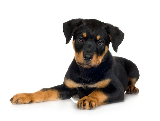 Ротвейлер с 3 мес. портрет собаки изолированный