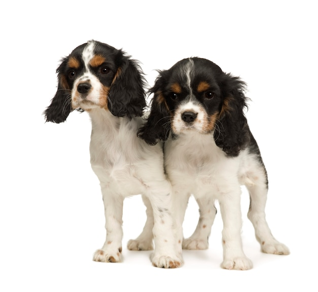 子犬キャバリアキングチャールズスパニエル3ヶ月。分離された犬の肖像画