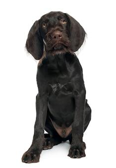 Немецкий щенок короткошерстной указки, 3 месяца. портрет собаки изолированный