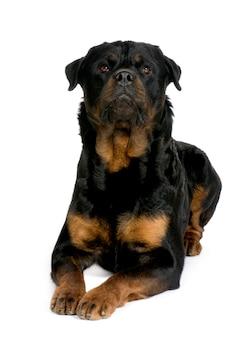 Ротвейлер с 3 лет. портрет собаки изолированный