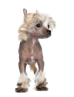 Китайская хохлатая собачка - голый щенок с 3 мес. портрет собаки изолированный