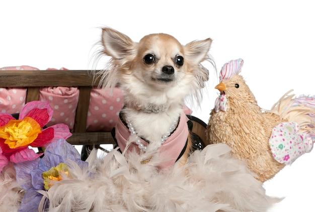 3歳のチワワがドレスアップし、花とチキンのぬいぐるみで犬のベッドの近くに座っています。