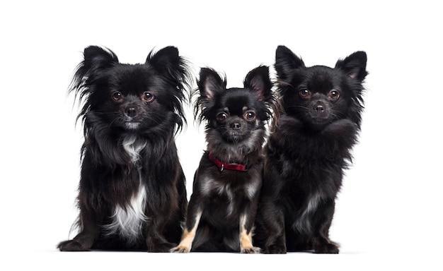 3つの茶色のチワワ犬が一緒に座って、カットアウト