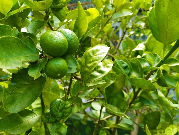 有機的に自宅で栽培されたその枝上の石灰の3つの果実