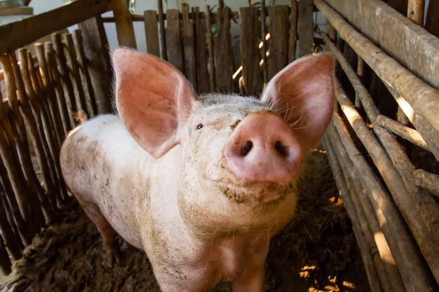 汚い屋台で3匹の豚
