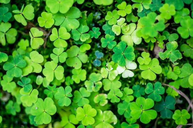 緑のクローバーの背景のフィールド。 3つの葉のクローバー。聖パトリックの日のために大きい