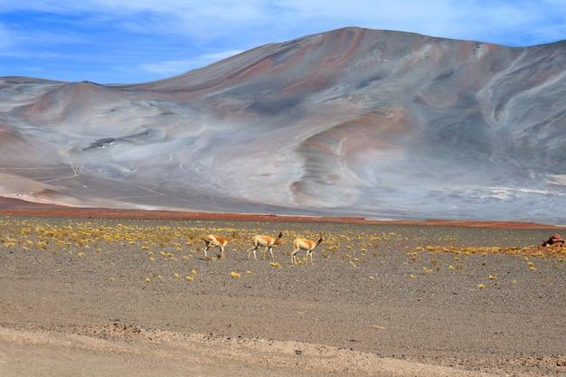 チリ北部、チリのアンデスの麓にある野生のビクーニャの3つ