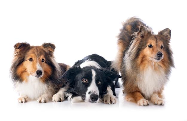スタジオで3匹の犬