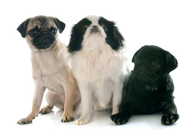 3匹の小さな犬