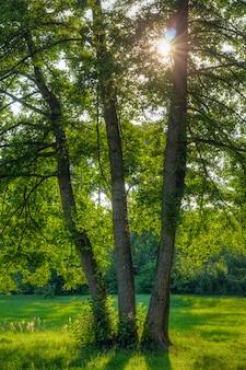 3つのオークと太陽のある自然