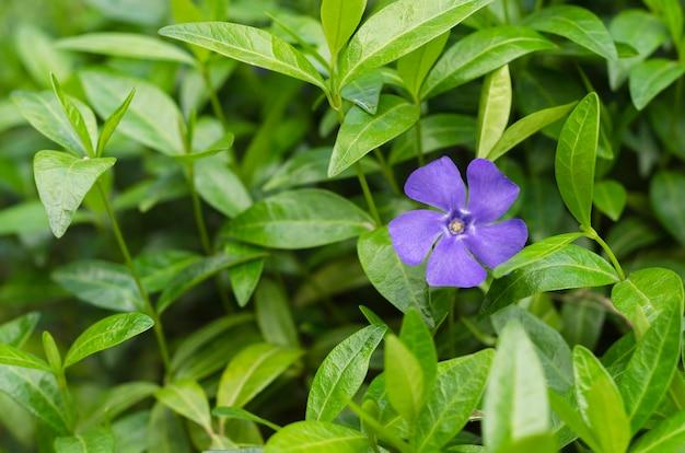 緑の葉3の青いツルニチニチソウの花