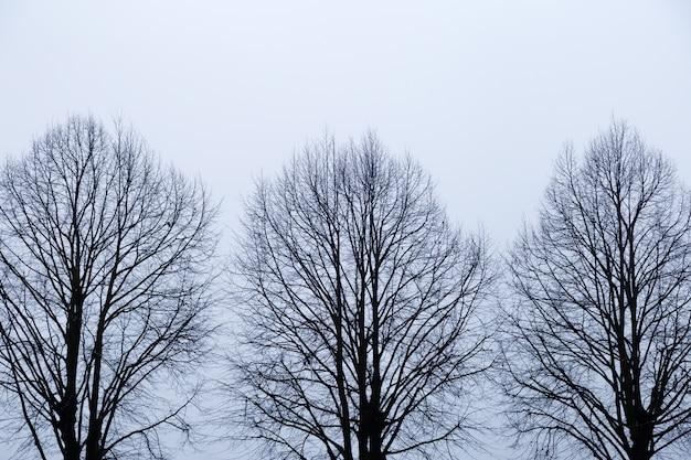 空に対して葉のない3本の木。白い背景の上の裸の枝を持つ木のシルエット。悲しい秋の時間。