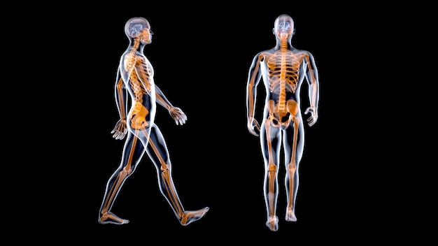3d anatomy concept of a xray man walking