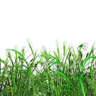 3d green grass and wheat on a white background
