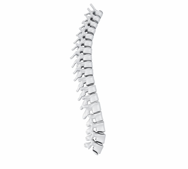 3d human spine