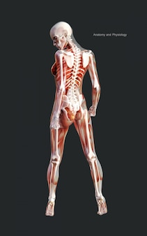 3d illustration human of a female skeleton muscle system, bone and digestive system