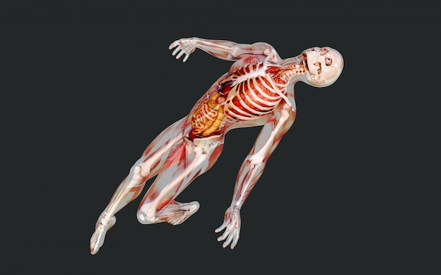 3d illustration of a male skeleton muscle system, bone and digestive system with clipping path
