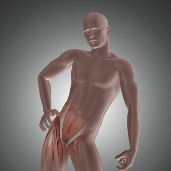 3d male figure with hip muscles highlighted