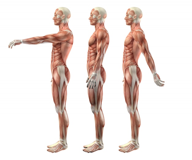 3d male medical figure showing shoulder flexion, extension and hyperextension