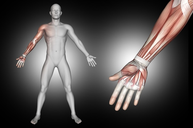 3d male medical figure with arm muscles highlighted