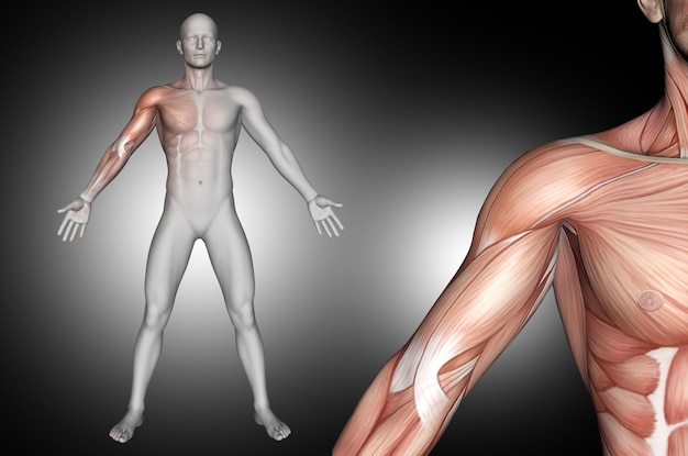 3d male medical figure with shoulder muscles highlighted