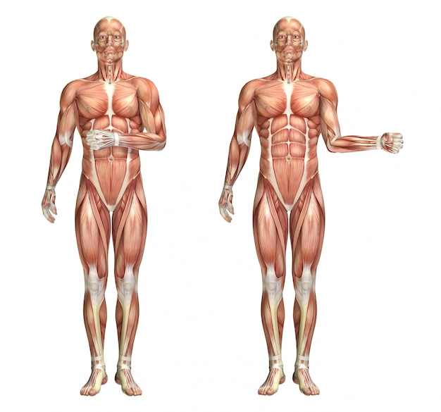 3d medical figure showing shoulder internal and external rotation