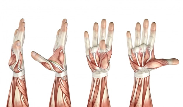 3d medical figure showing thumb abduction, adduction, extension and flexion
