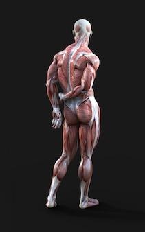 3d визуализация мужской фигуры представляют с мышц
