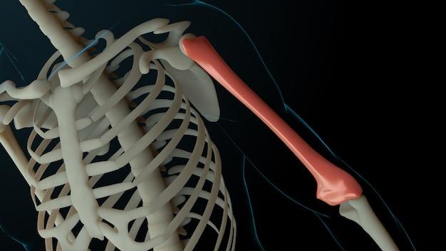 負傷した骨のある骨格構造の3dレンダリングされたイラスト。骨の痛みは赤い輝きで示されます。腕の部分の痛み。