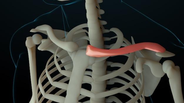 負傷した骨のある骨格構造の3dレンダリングされたイラスト。骨の痛みは赤い輝きで示されます。鎖骨部分の痛み。