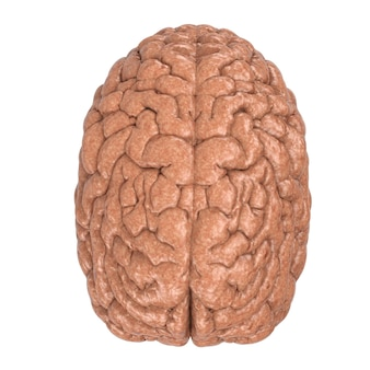 3d rendering human brain isolated on white