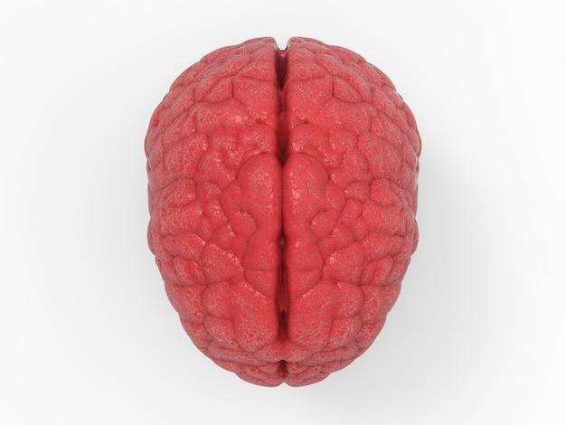 白い背景に赤い脳をレンダリングする3d