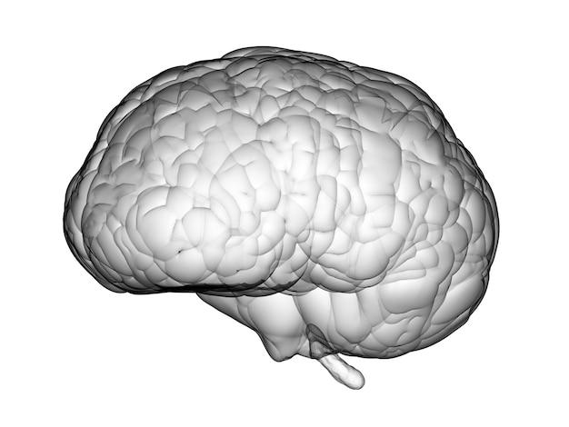 3d rendering white brain on white background