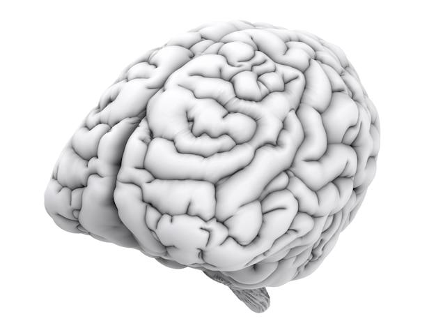 3d-рендеринг белого человеческого мозга, изолированные на белом фоне